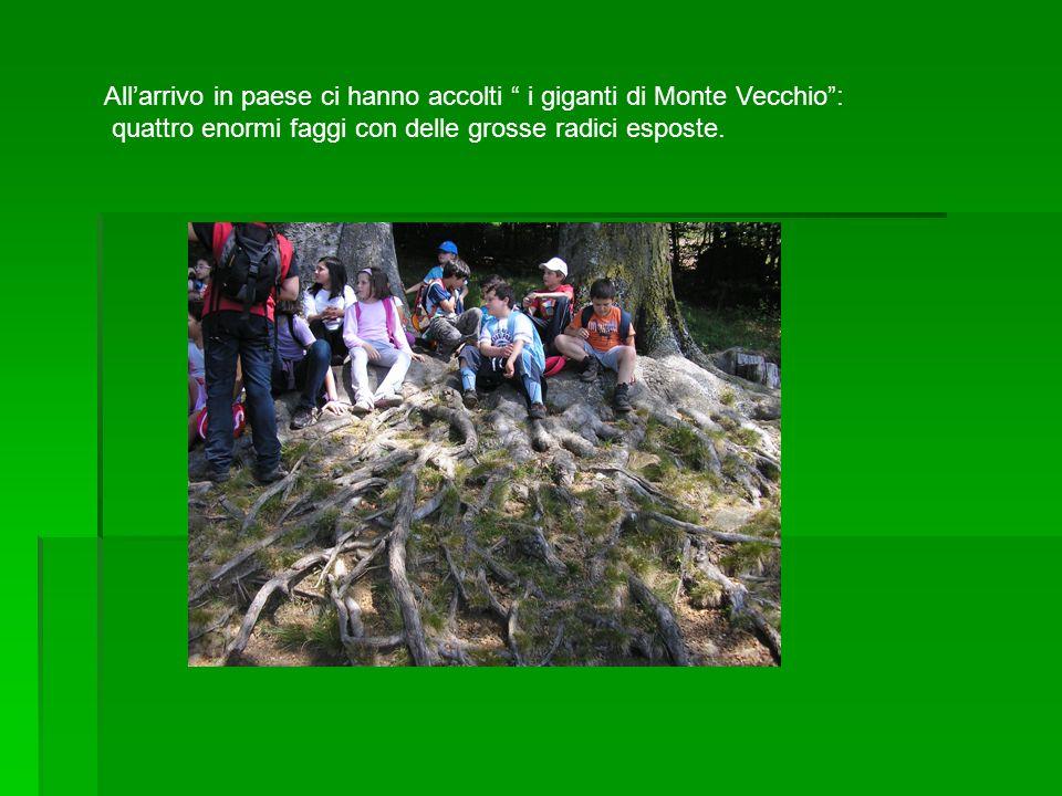 Allarrivo in paese ci hanno accolti i giganti di Monte Vecchio: quattro enormi faggi con delle grosse radici esposte.