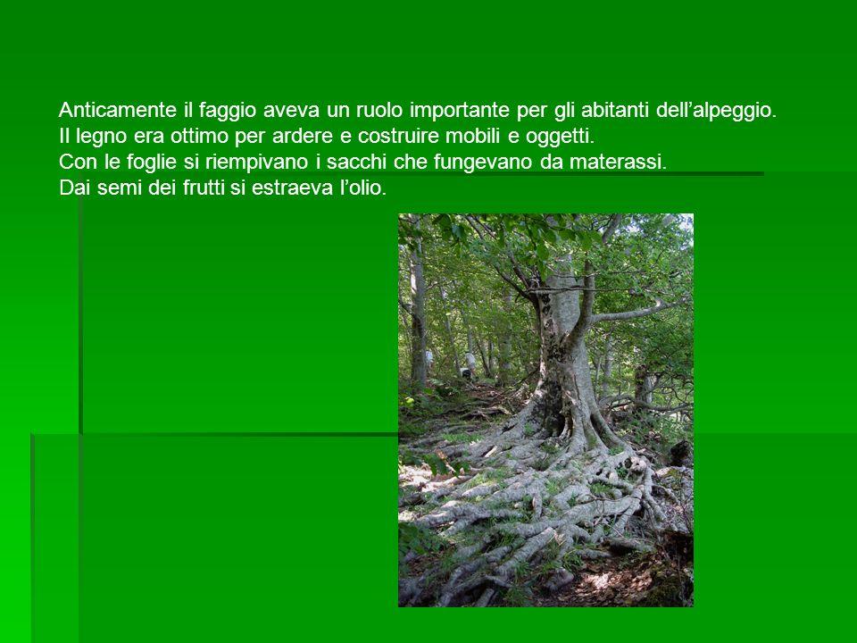 Anticamente il faggio aveva un ruolo importante per gli abitanti dellalpeggio. Il legno era ottimo per ardere e costruire mobili e oggetti. Con le fog