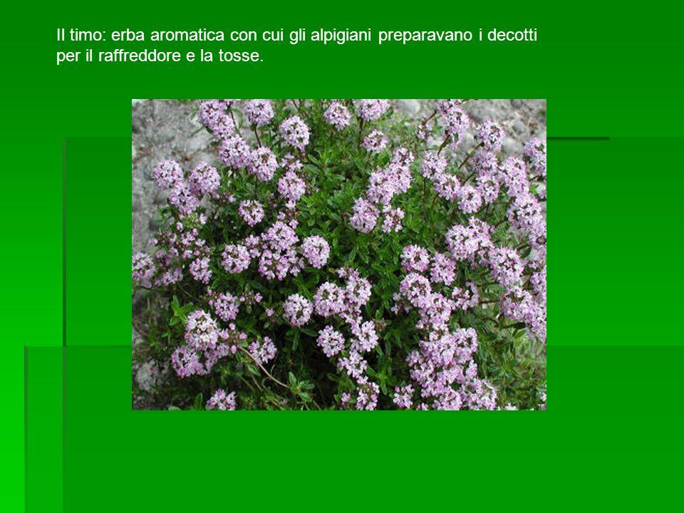 Il timo: erba aromatica con cui gli alpigiani preparavano i decotti per il raffreddore e la tosse.