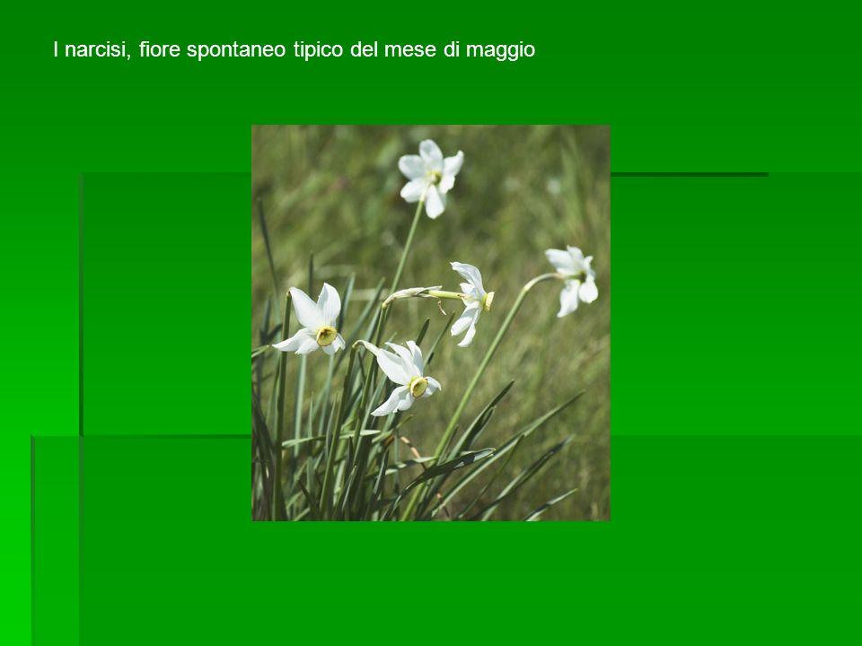 I narcisi, fiore spontaneo tipico del mese di maggio