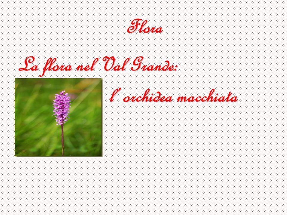 Flora La flora nel Val Grande: l orchidea macchiata
