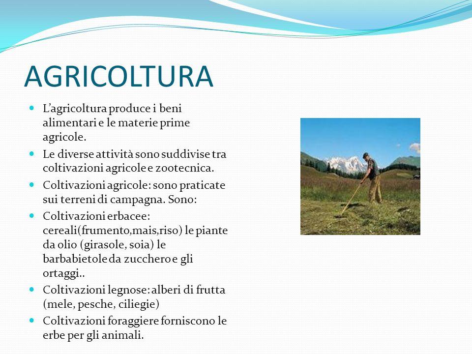 AGRICOLTURA Lagricoltura produce i beni alimentari e le materie prime agricole. Le diverse attività sono suddivise tra coltivazioni agricole e zootecn