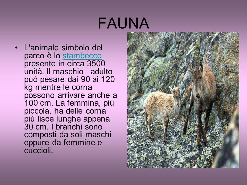 FAUNA L'animale simbolo del parco è lo stambecco presente in circa 3500 unità. Il maschio adulto può pesare dai 90 ai 120 kg mentre le corna possono a