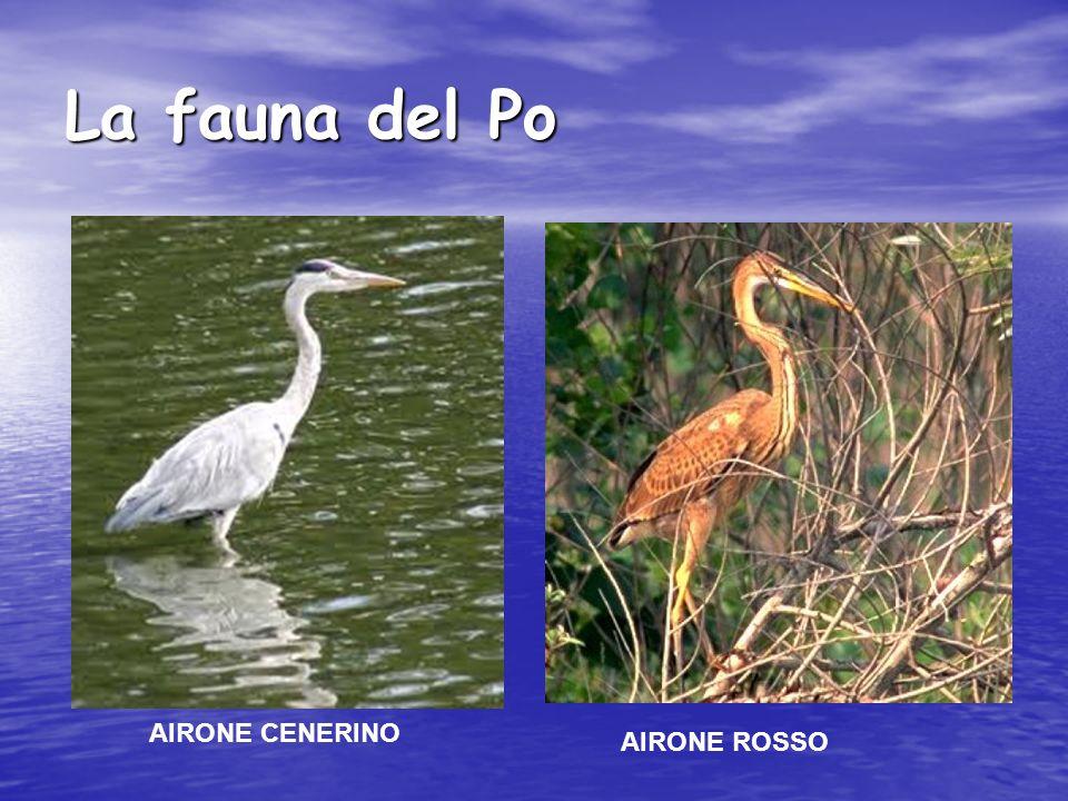 La fauna del Po AIRONE CENERINO AIRONE ROSSO