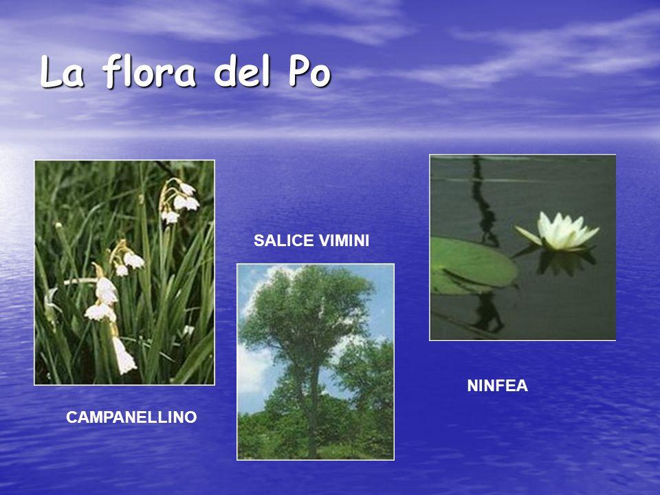 La flora del Po CAMPANELLINO SALICE VIMINI NINFEA