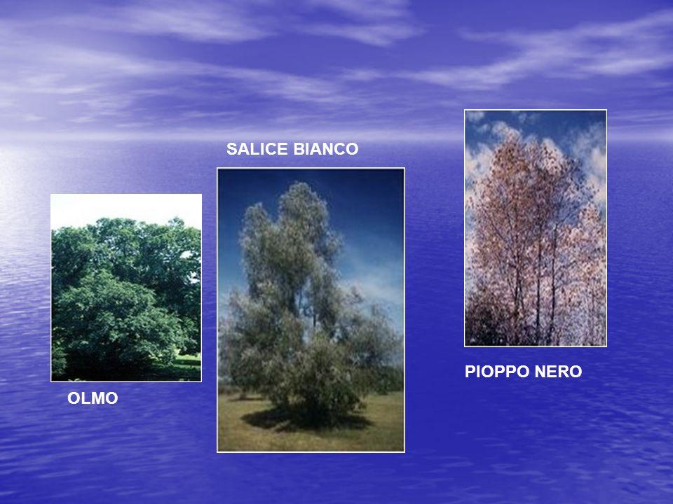 OLMO SALICE BIANCO PIOPPO NERO