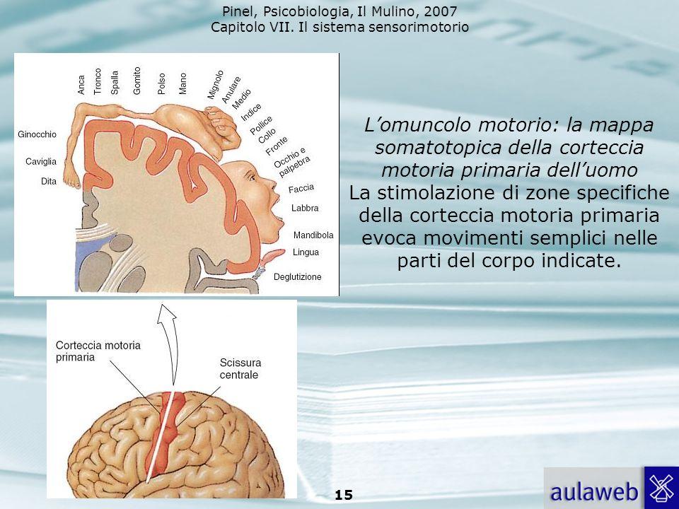 Pinel, Psicobiologia, Il Mulino, 2007 Capitolo VII. Il sistema sensorimotorio 15 Lomuncolo motorio: la mappa somatotopica della corteccia motoria prim