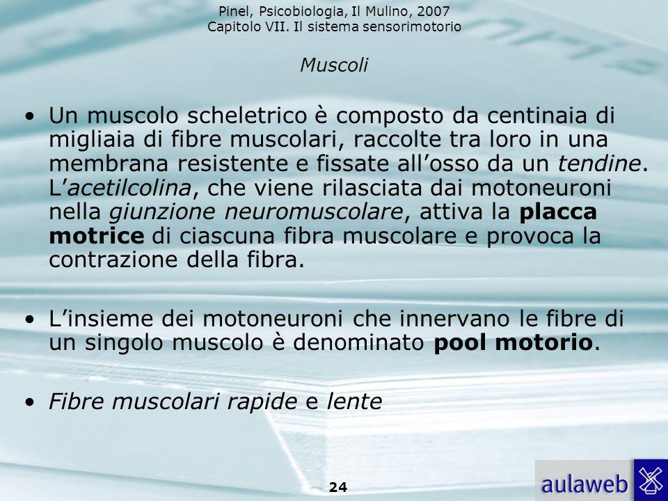 Pinel, Psicobiologia, Il Mulino, 2007 Capitolo VII. Il sistema sensorimotorio 24 Muscoli Un muscolo scheletrico è composto da centinaia di migliaia di