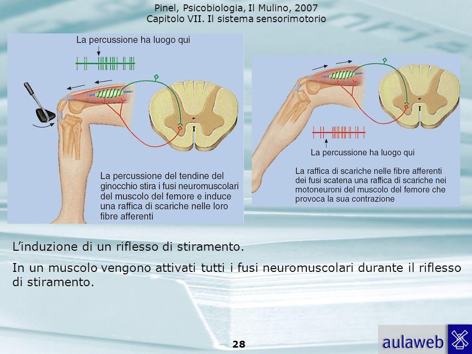 Pinel, Psicobiologia, Il Mulino, 2007 Capitolo VII. Il sistema sensorimotorio 28 Linduzione di un riflesso di stiramento. In un muscolo vengono attiva