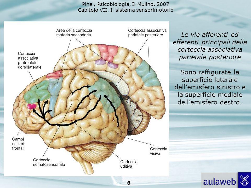 Pinel, Psicobiologia, Il Mulino, 2007 Capitolo VII. Il sistema sensorimotorio 6 Le vie afferenti ed efferenti principali della corteccia associativa p