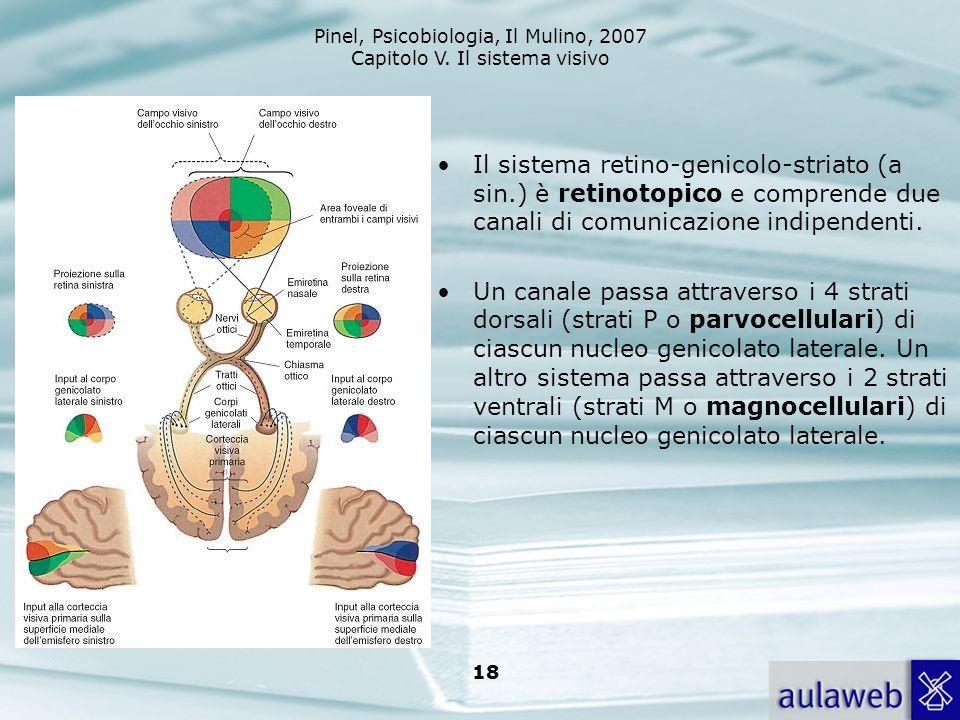 Pinel, Psicobiologia, Il Mulino, 2007 Capitolo V. Il sistema visivo 18 Il sistema retino-genicolo-striato (a sin.) è retinotopico e comprende due cana