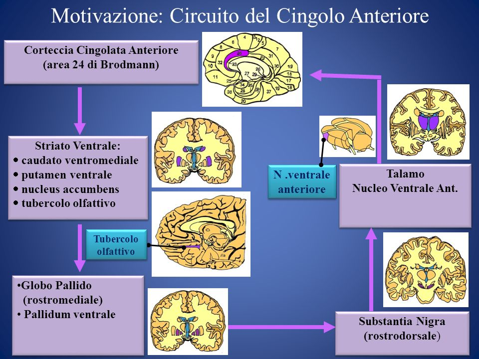 N.ventrale anteriore Corteccia Cingolata Anteriore (area 24 di Brodmann) Striato Ventrale: caudato ventromediale putamen ventrale nucleus accumbens tu