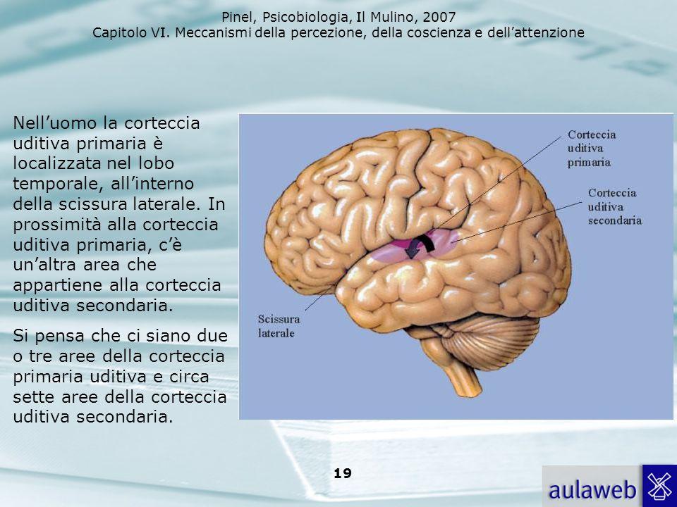 Pinel, Psicobiologia, Il Mulino, 2007 Capitolo VI. Meccanismi della percezione, della coscienza e dellattenzione 19 Nelluomo la corteccia uditiva prim