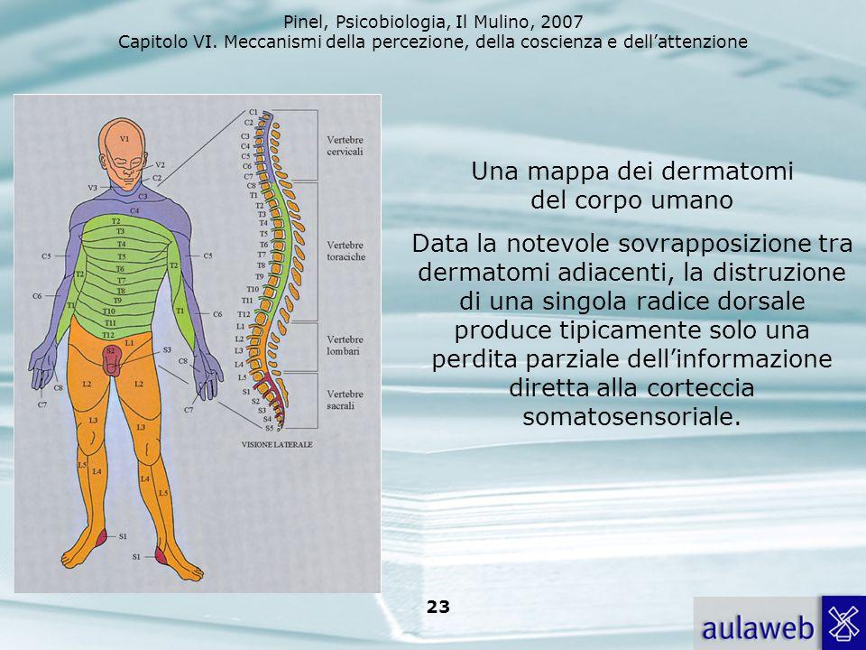 Pinel, Psicobiologia, Il Mulino, 2007 Capitolo VI. Meccanismi della percezione, della coscienza e dellattenzione 23 Una mappa dei dermatomi del corpo