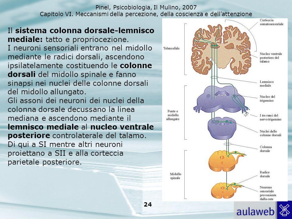 Pinel, Psicobiologia, Il Mulino, 2007 Capitolo VI. Meccanismi della percezione, della coscienza e dellattenzione 24 Il sistema colonna dorsale-lemnisc