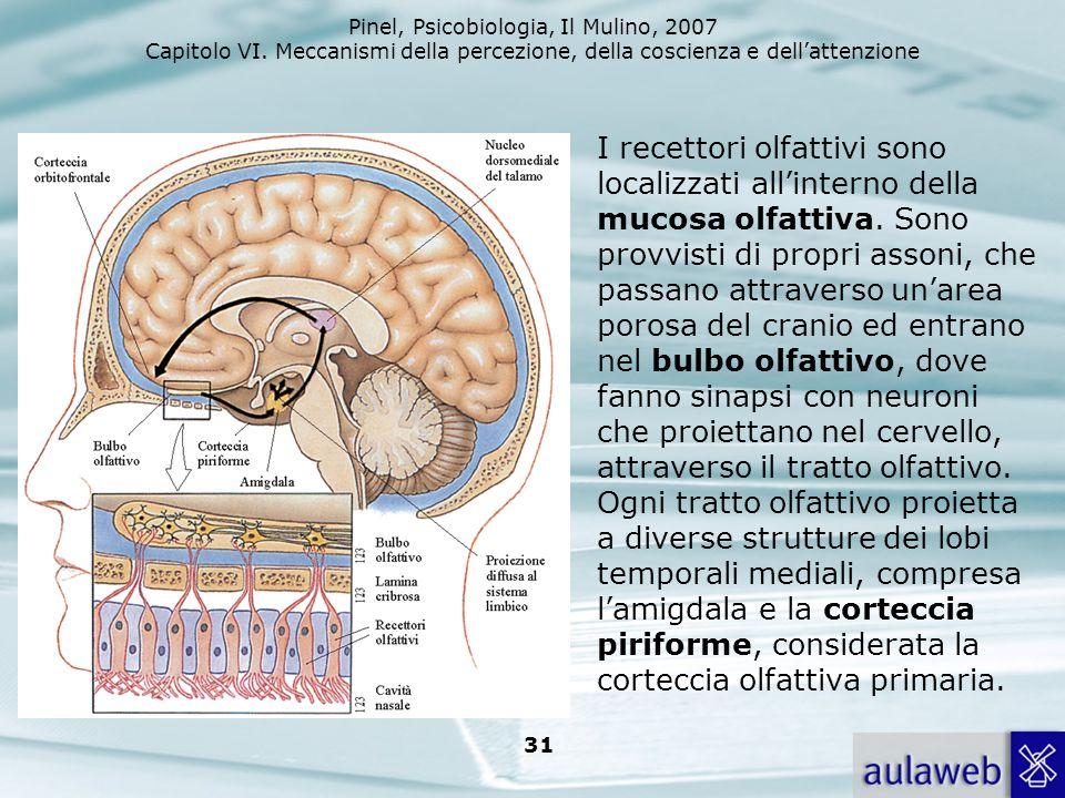 Pinel, Psicobiologia, Il Mulino, 2007 Capitolo VI. Meccanismi della percezione, della coscienza e dellattenzione 31 I recettori olfattivi sono localiz