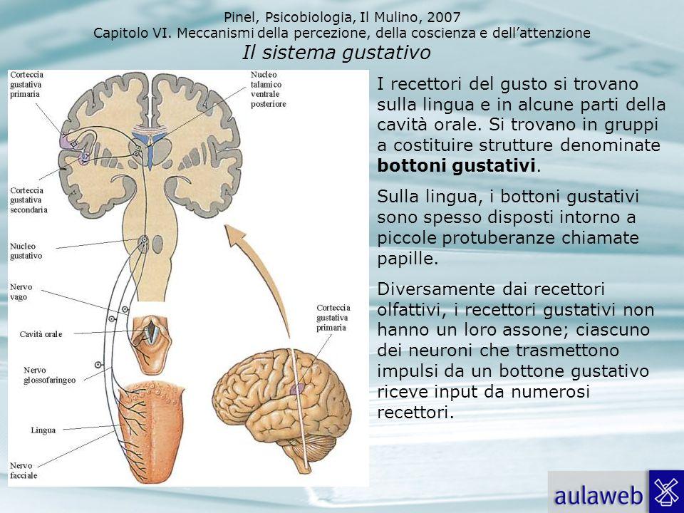 Pinel, Psicobiologia, Il Mulino, 2007 Capitolo VI. Meccanismi della percezione, della coscienza e dellattenzione 32 Il sistema gustativo I recettori d