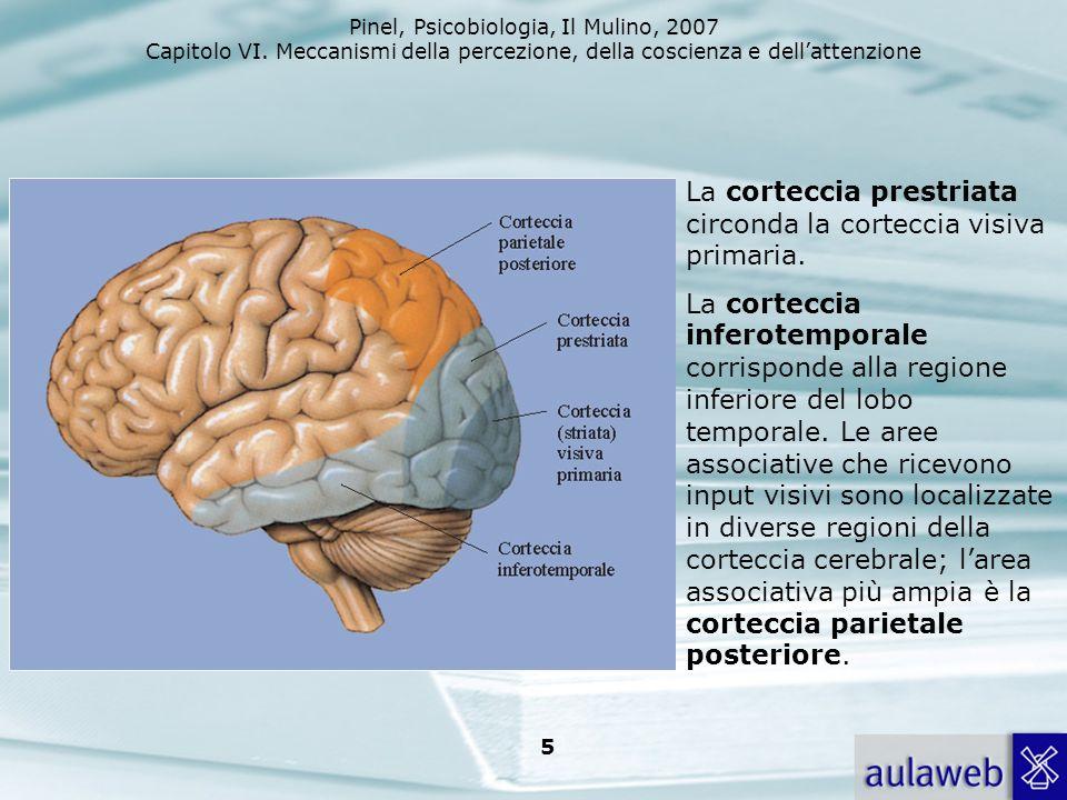Pinel, Psicobiologia, Il Mulino, 2007 Capitolo VI. Meccanismi della percezione, della coscienza e dellattenzione 5 La corteccia prestriata circonda la
