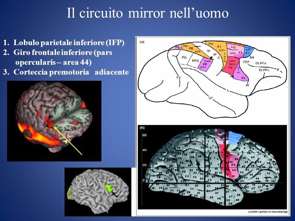 Il circuito mirror nelluomo 1. Lobulo parietale inferiore (IFP) 2. Giro frontale inferiore (pars opercularis – area 44) 3. Corteccia premotoria adiace