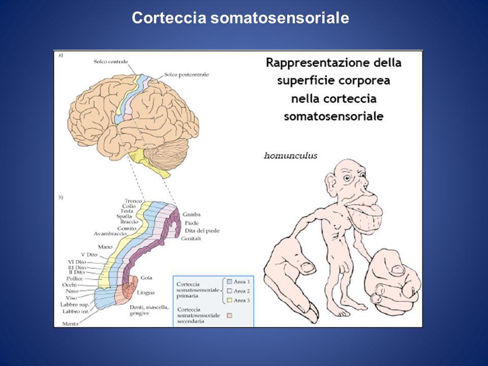 Sistema nervoso autonomo Sezione simpatica Sezione parasimpatica