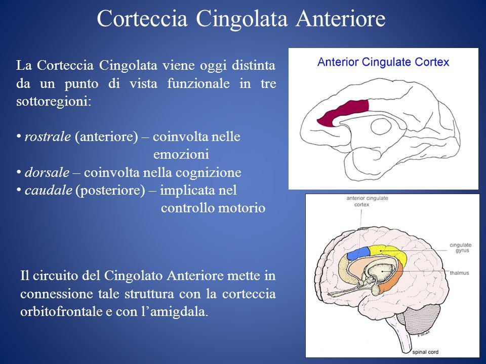 Corteccia Cingolata Anteriore La Corteccia Cingolata viene oggi distinta da un punto di vista funzionale in tre sottoregioni: rostrale (anteriore) – c