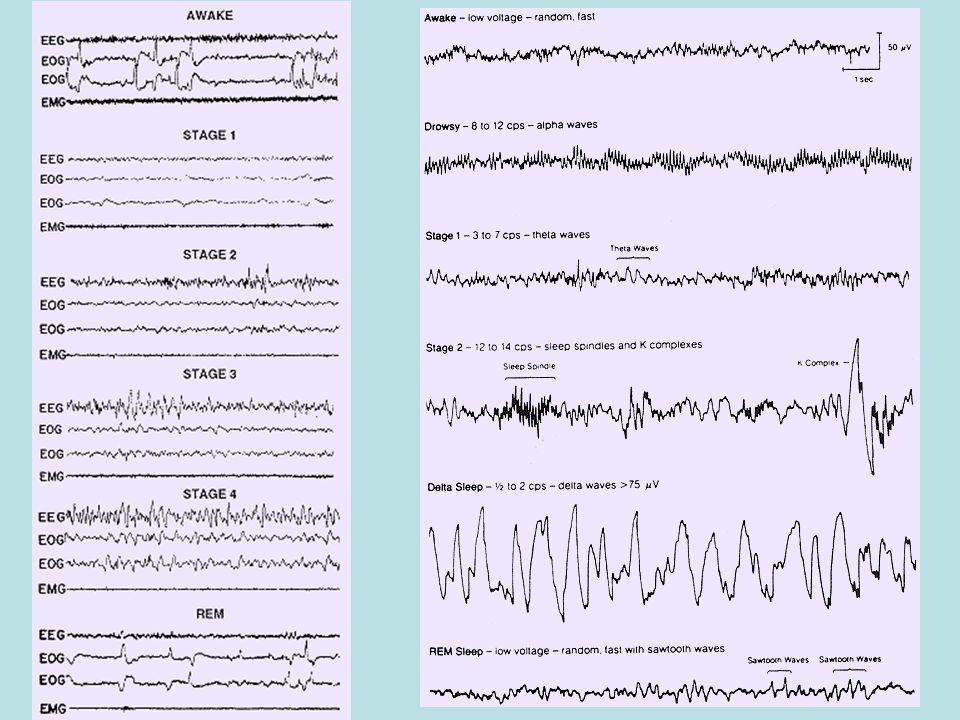 Sonno REM REMs e contrazione fasica dei muscoli dellorecchio medio sono innescati da raffica di attività elettrica registrabile da strutture del TE, dal talamo e dalle cortecce visiva e uditiva.