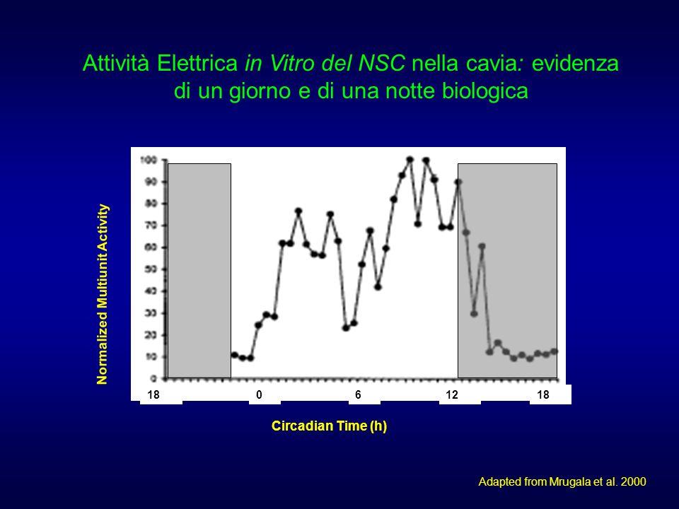 18061218 Circadian Time (h) Normalized Multiunit Activity Attività Elettrica in Vitro del NSC nella cavia: evidenza di un giorno e di una notte biologica Adapted from Mrugala et al.