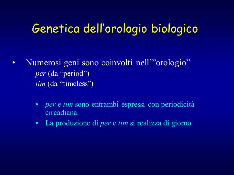 Genetica dellorologio biologico Numerosi geni sono coinvolti nellorologio –per (da period) –tim (da timeless) per e tim sono entrambi espressi con periodicità circadiana La produzione di per e tim si realizza di giorno