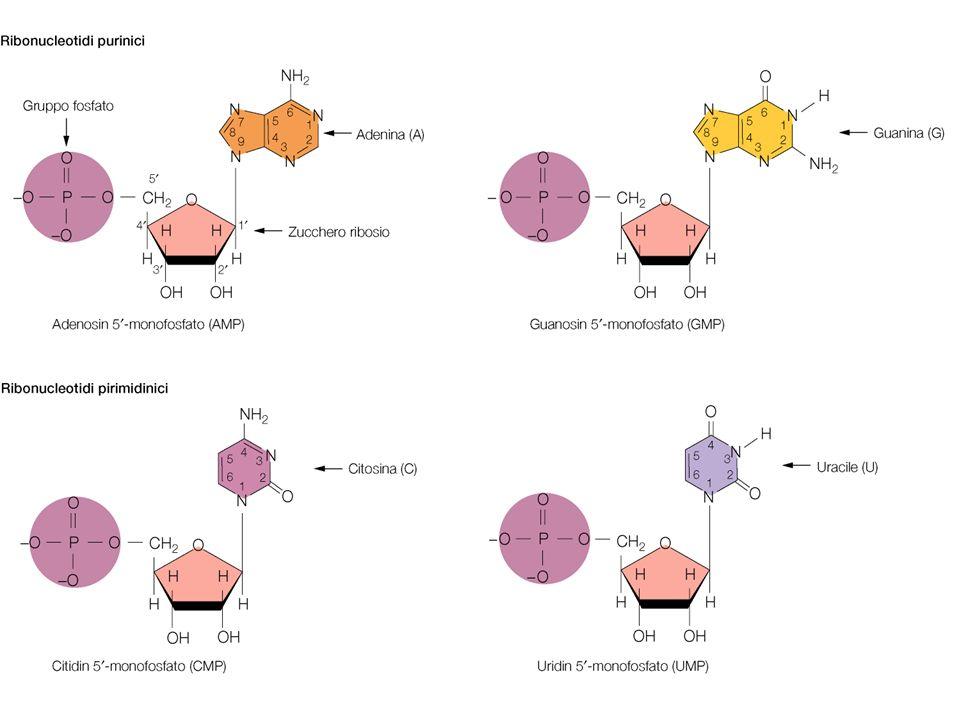 Principali tipi di RNA Nella sintesi proteica intervengono 3 diversi tipi di RNA. mRNA = RNA messaggero, intermedio nel trasferimento delle informazio