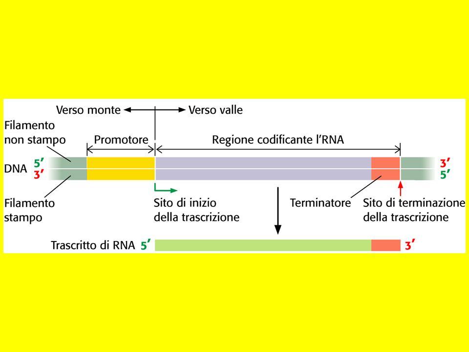 Trascrizione DNA coding strand DNA template strand DNA 5 3 5 3 GTCATTCGG CAGTAAGCC G RNA 5 GGUCAUUC 3