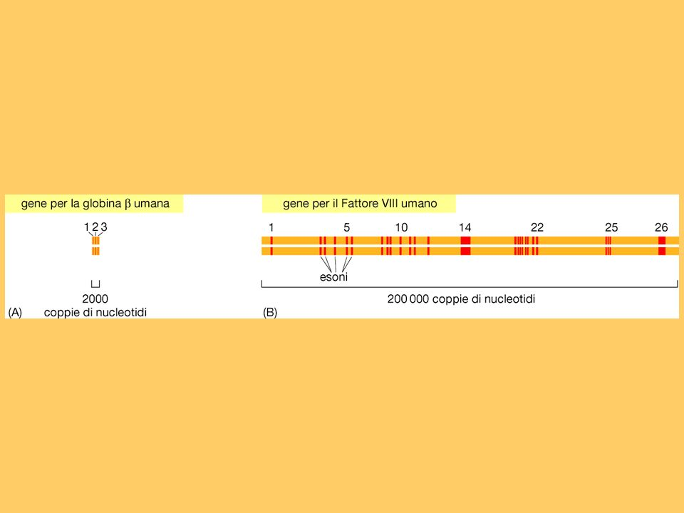 Geni procariotici ed eucariotici I geni batterici sono rappresentati da una sequenza ininterrotta che codifica per una o più proteine. I geni eucariot