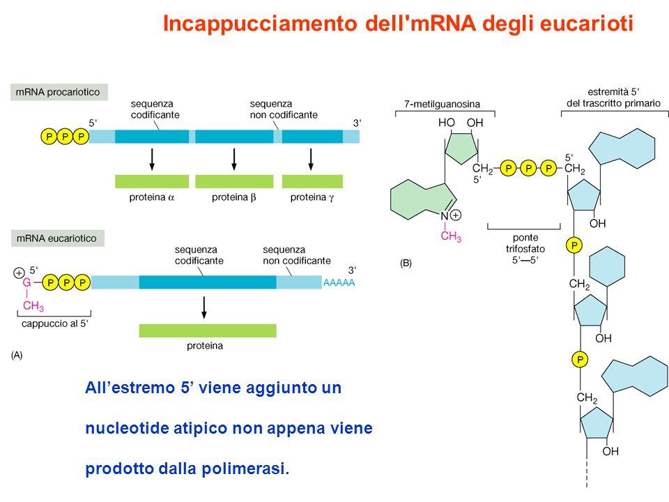 Maturazione degli mRNA eucariotici I trascritti primari destinati a diventare mRNA subiscono delle modificazioni che vengono definite come processi di