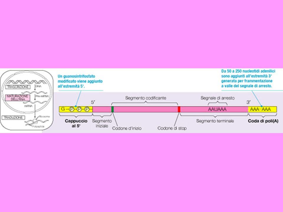 Allestremo 5 viene aggiunto un nucleotide atipico non appena viene prodotto dalla polimerasi. Incappucciamento dell'mRNA degli eucarioti