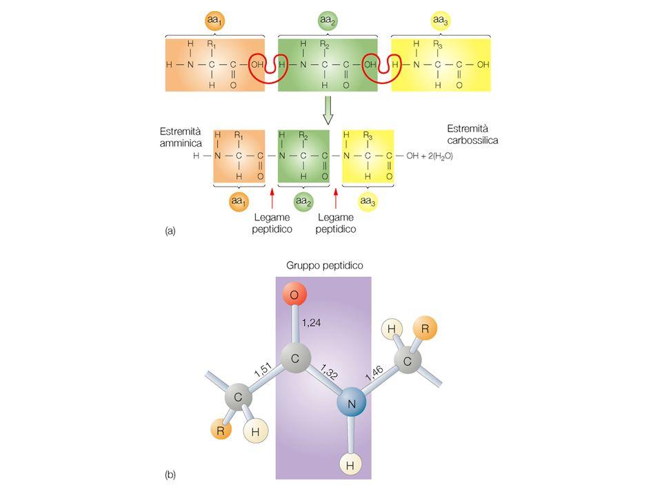 Geni procariotici ed eucariotici I geni batterici sono rappresentati da una sequenza ininterrotta che codifica per una o più proteine.