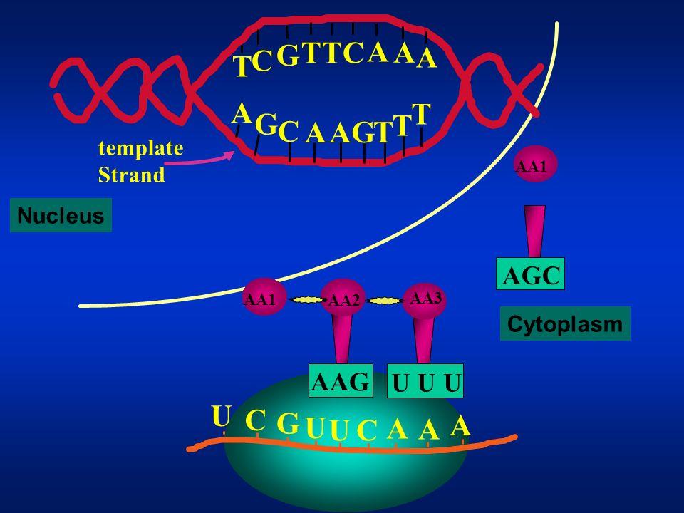 U C G U U C A A A A G C TTC A A A T G C AA T TG T Template Strand AA3 U U U AA2 AAG AA1 Nucleus Cytoplasm AGC AA1 ATP
