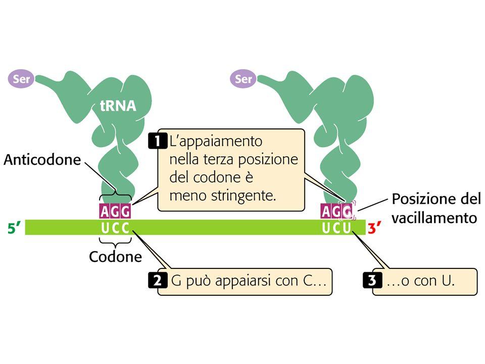 U C G U U C A A A A G C TTC A A A T G C AA T TG T template Strand AA3 U U U AA2 AAG AA1 Nucleus Cytoplasm AGC AA1