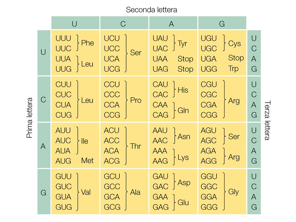 Maturazione degli mRNA eucariotici I trascritti primari destinati a diventare mRNA subiscono delle modificazioni che vengono definite come processi di maturazione dellRNA: INCAPPUCCIAMENTO POLIADENILAZIONE SPLICING NB: lmRNA dei procarioti non subisce queste modificazioni