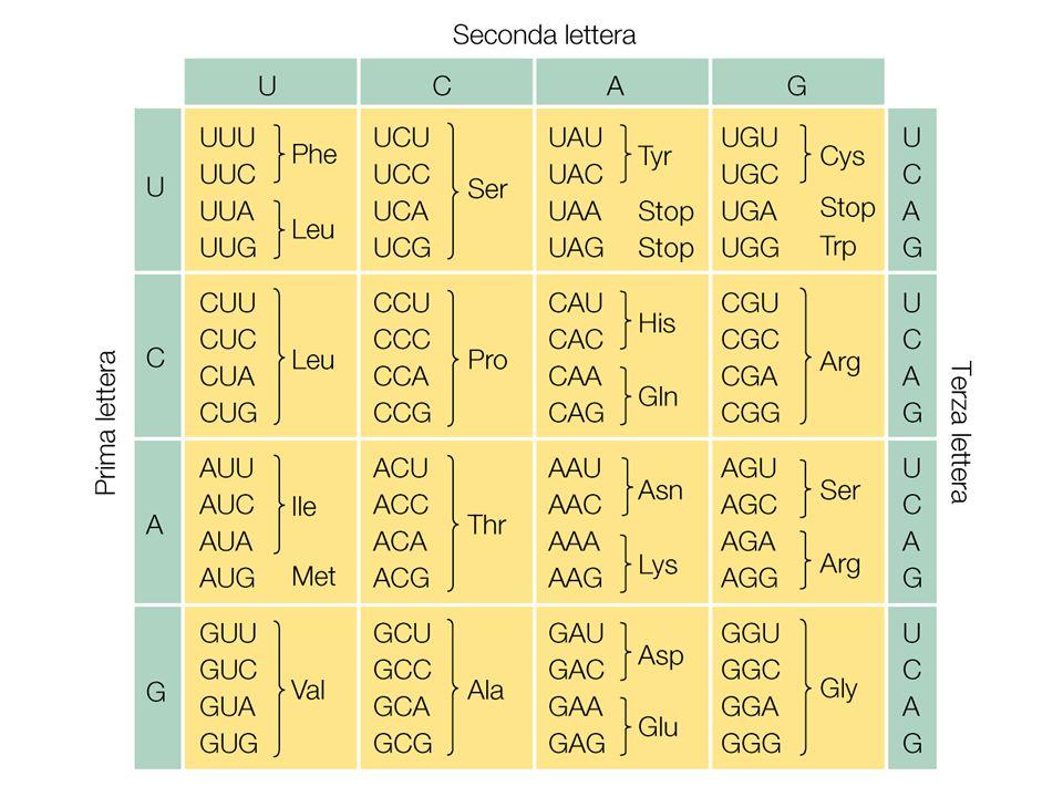 U C G U U C A A A A G C TTC A A A T G C AA T TG T template Strand Nucleus Cytoplasm AA1 AGC tRNAs