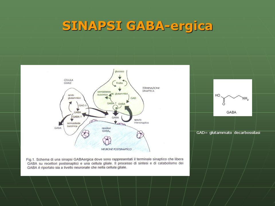 Il GABA è presente a concentrazioni millimolari in molte regioni cerebrali: Substantia nigra Globus pallidum Corpi quadrigemi Corteccia cerebrale Cervelletto Ippocampo Ponte bulbo Sostanza bianca