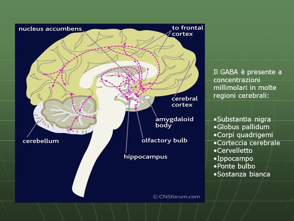 Il GABA è presente a concentrazioni millimolari in molte regioni cerebrali: Substantia nigra Globus pallidum Corpi quadrigemi Corteccia cerebrale Cerv