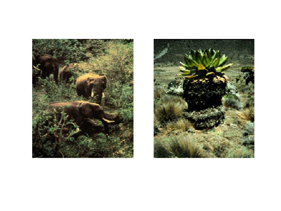 Gli elefanti africani sono gli animali erbivori più imponenti dellecosistema equatoriale.