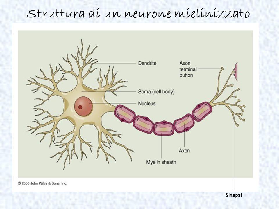 Struttura di un neurone mielinizzato Sinapsi