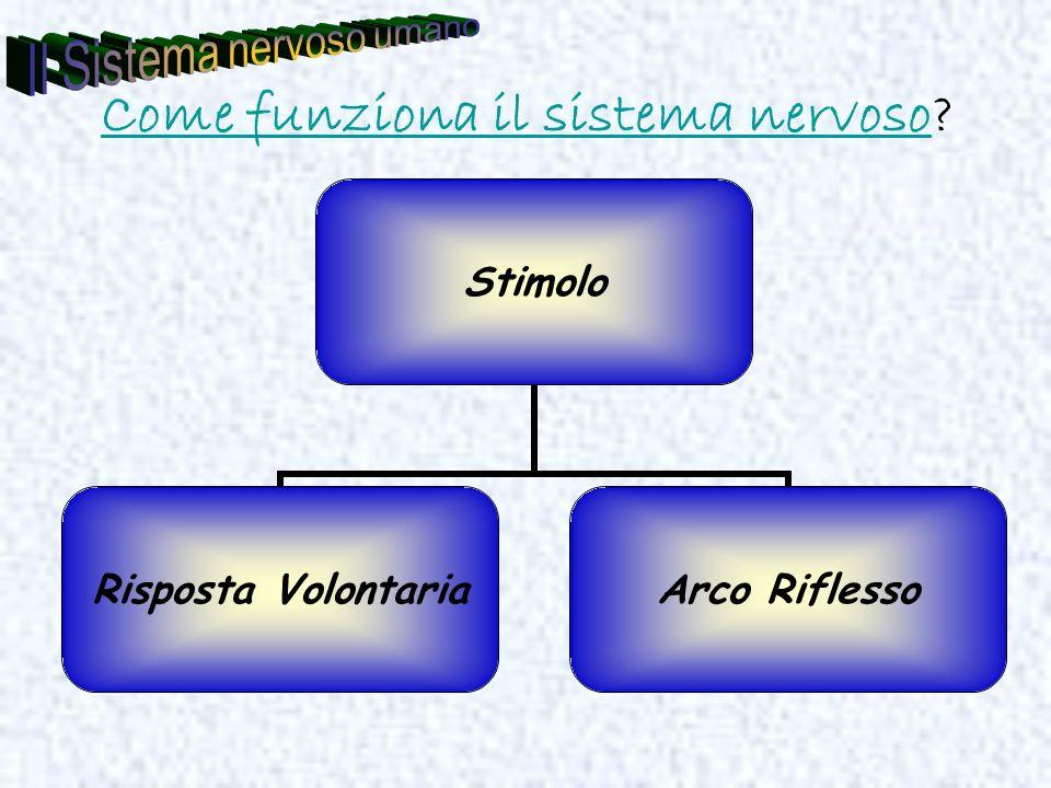 Come funziona il sistema nervosoCome funziona il sistema nervoso? Stimolo Risposta Volontaria Arco Riflesso