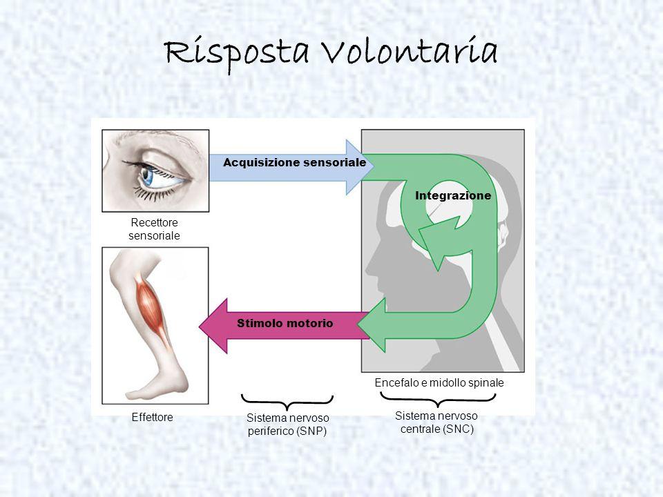 Risposta Volontaria Acquisizione sensoriale Recettore sensoriale Effettore Stimolo motorio Integrazione Sistema nervoso periferico (SNP) Encefalo e mi