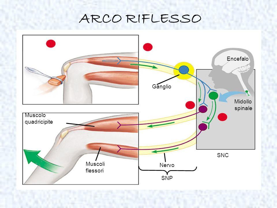 Muscolo quadricipite Muscoli flessori Encefalo Midollo spinale Nervo SNP Ganglio SNC ARCO RIFLESSO