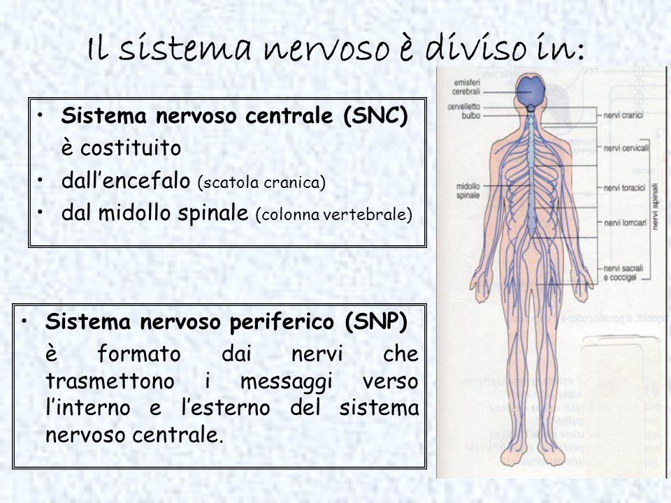 Il sistema nervoso è diviso in: Sistema nervoso centrale (SNC) è costituito dallencefalo (scatola cranica) dal midollo spinale (colonna vertebrale) Si