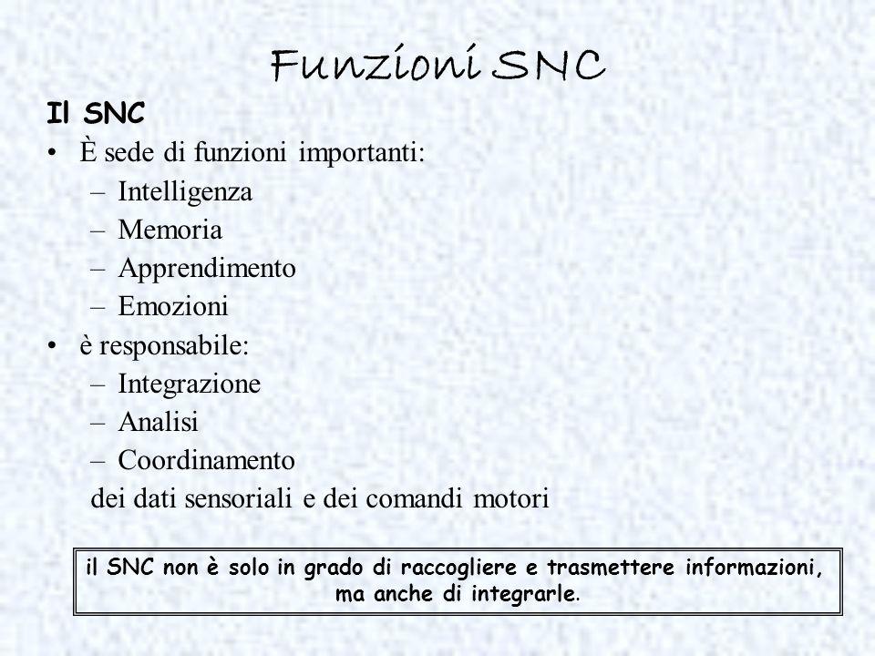 Funzioni SNC Il SNC È sede di funzioni importanti: –Intelligenza –Memoria –Apprendimento –Emozioni è responsabile: –Integrazione –Analisi –Coordinamen