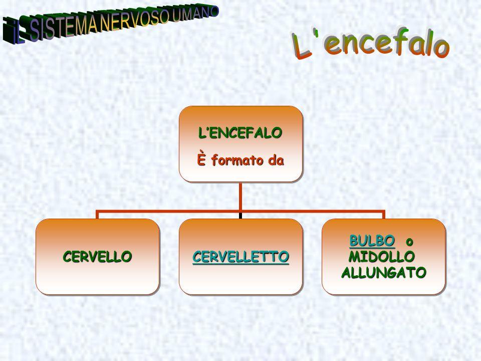 LENCEFALO È formato da CERVELLO CERVELLETTO BULBOBULBO o BULBOMIDOLLOALLUNGATO