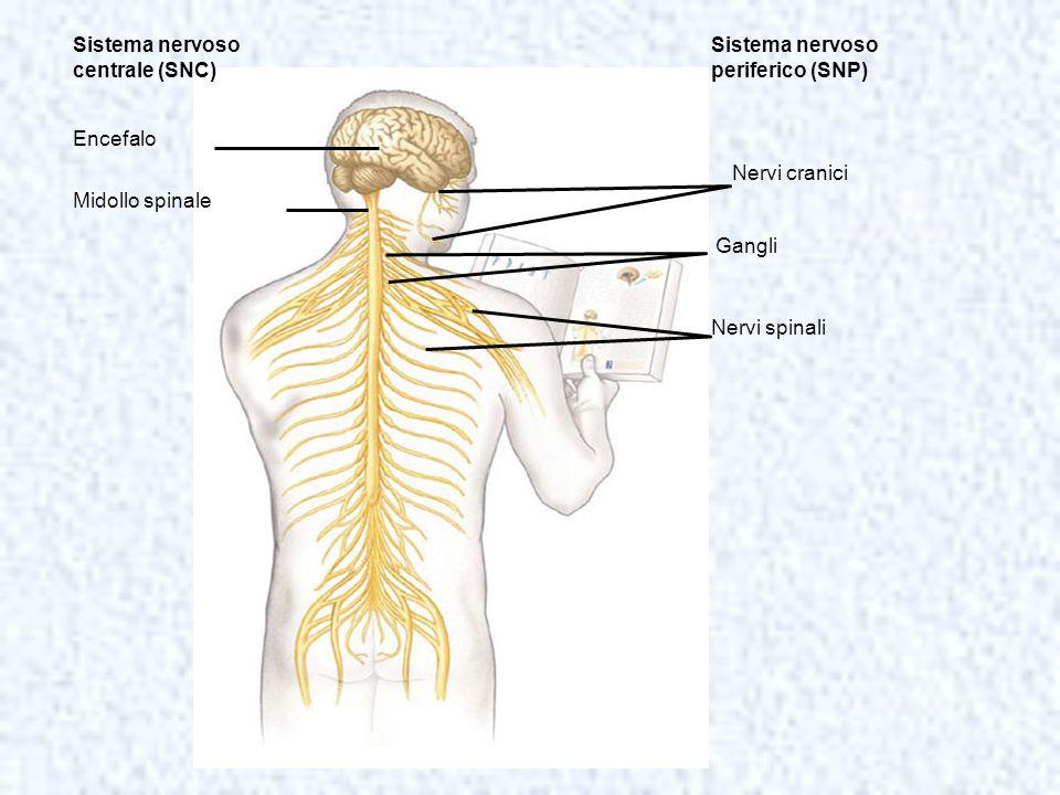 Sistema nervoso centrale (SNC) Encefalo Midollo spinale Sistema nervoso periferico (SNP) Nervi cranici Gangli Nervi spinali