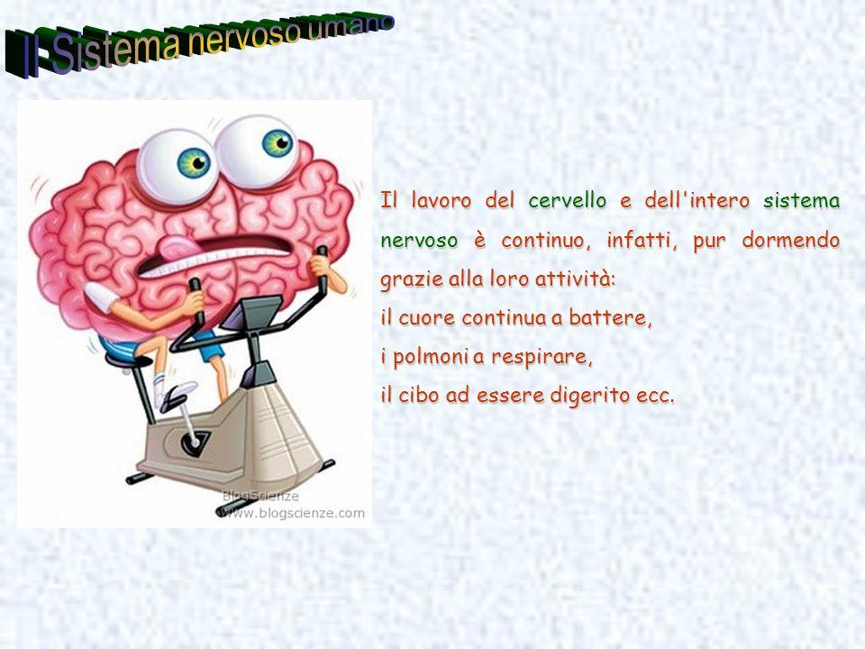Il lavoro del cervello e dell'intero sistema nervoso è continuo, infatti, pur dormendo grazie alla loro attività: il cuore continua a battere, i polmo